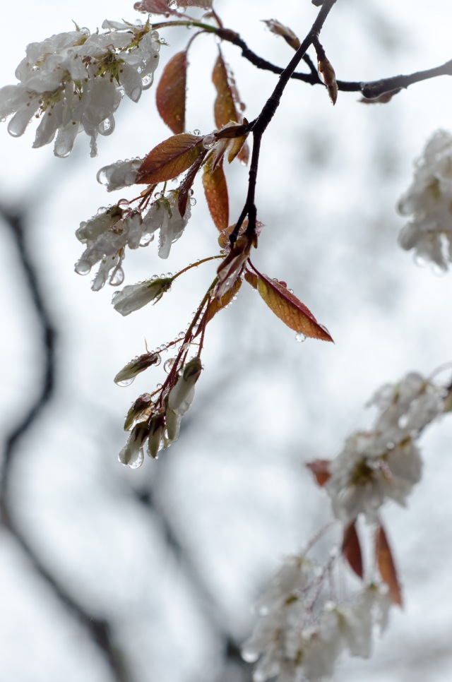 Shad blossoms-4534